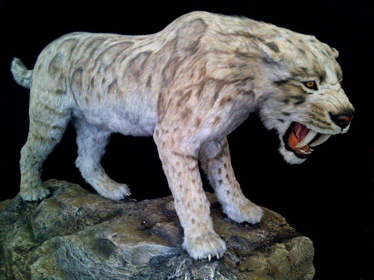 Saber Tooth Tiger 3d Wallpaper Smilodon Fatalis Wikipedia La Enciclopedia Libre