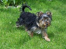 Black And Grey Wallpaper Yorkshire Terrier Wikipedia