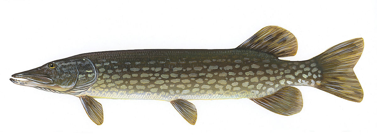 Northern pike - Wikipedia