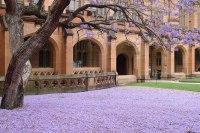 File:Jacaranda carpet, Sydney University.jpg - Wikipedia