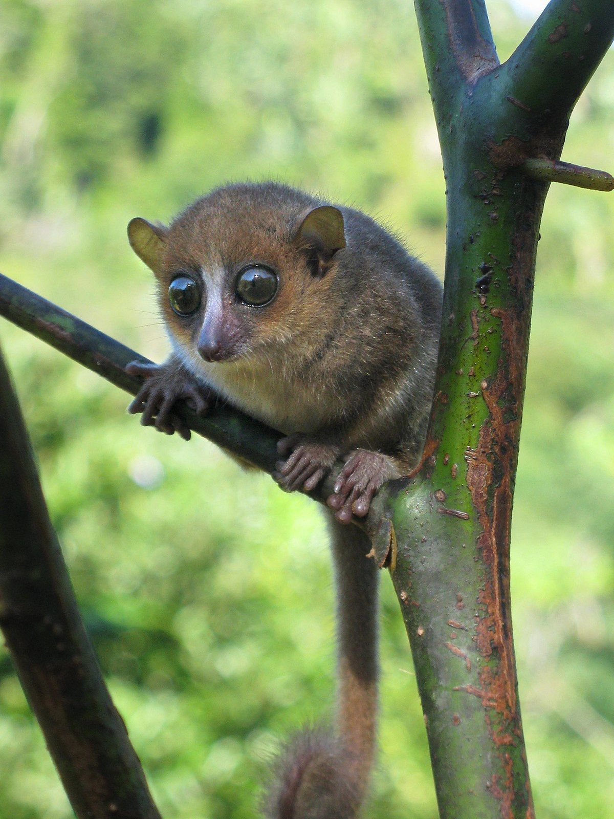 Maki Animale Gerp 39s Mouse Lemur Wikipedia