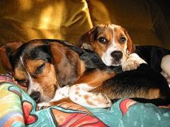 Beagles are happy to rest without being exerci...
