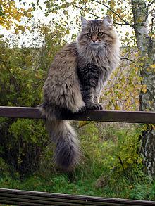 Fluffy And Cute Wallpapers Sibirische Katze Wikipedia