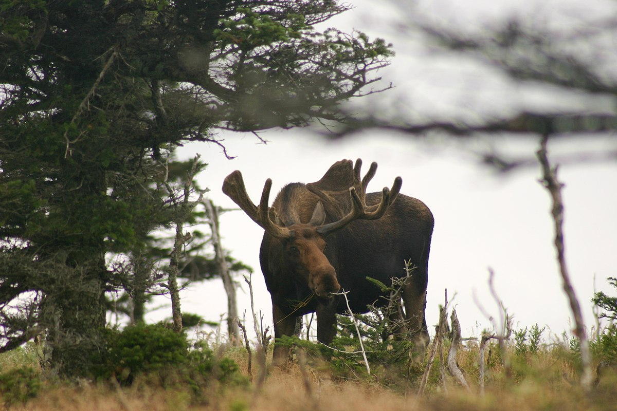 Image For Moose Hunting In Newfoundland