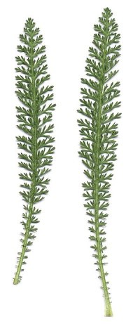 Achillea millefolium - leaves (scan)