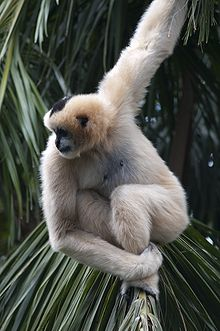 Black And Yellow Wallpaper Northern White Cheeked Gibbon Wikipedia