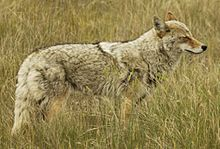 Black Wolf Wallpaper Kojote Wikipedia