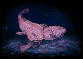 Blobfish Wikipedia