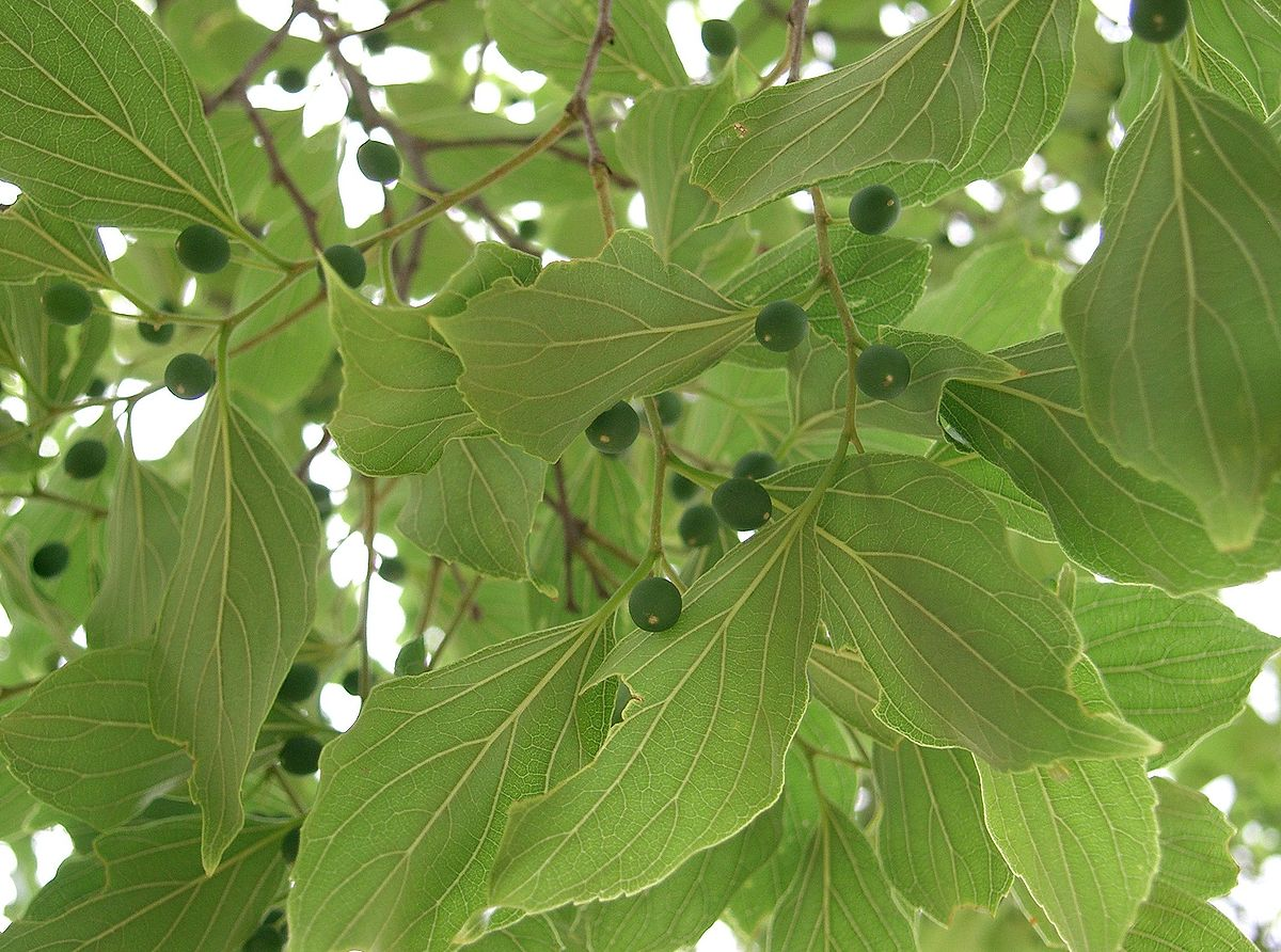 Celtis Wikipedia