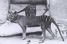 O Lobo da Tâsmania, fotografado em Washington, durante o ano de 1902.