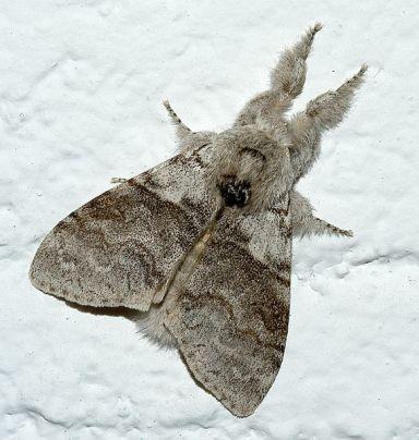 Résultat d'images pour  pudibon papillon