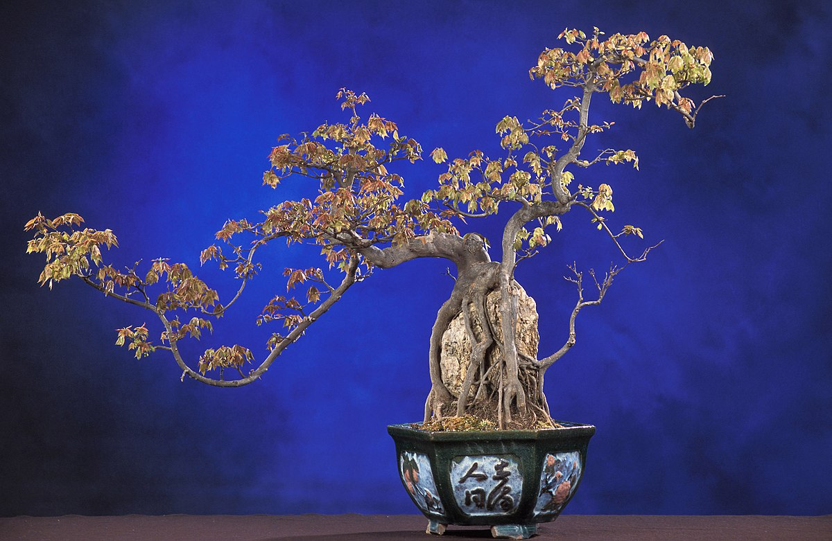 Bonsai Baum Klein Pflege Bonsai Wikipedia