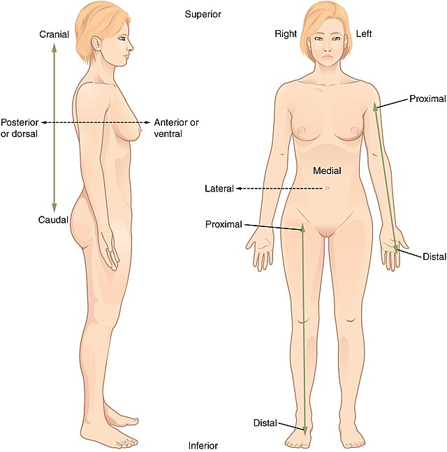 Standard anatomical position - Wikiwand