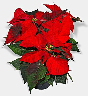 This image shows a red Poinsettia (Euphorbia p...