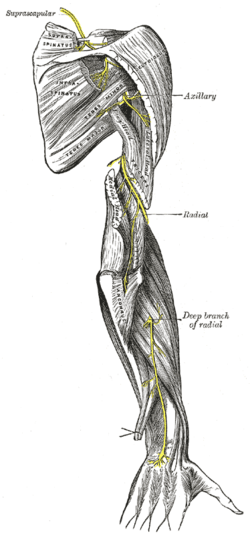 arm nerve diagram