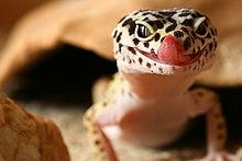 Scary Little Girl Wallpaper Gecko L 233 Opard Wikip 233 Dia