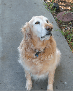 English: American Golden Retriever