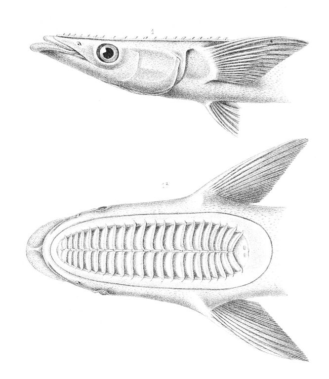 remora fish diagram