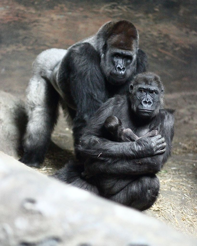 Table De 8 File:moka With Baby Gorilla At Pittsburgh Zoo 2, 2012-02