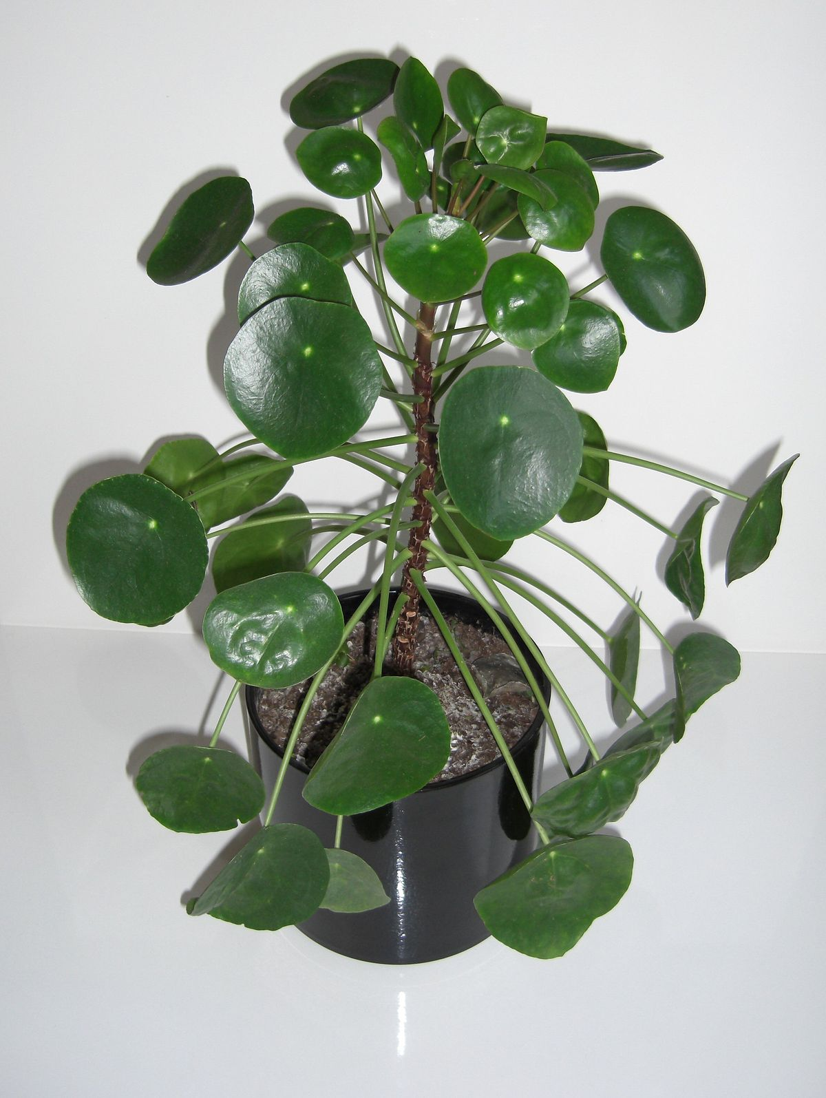 Pflanze Mit A Pilea Peperomioides Wikipedia