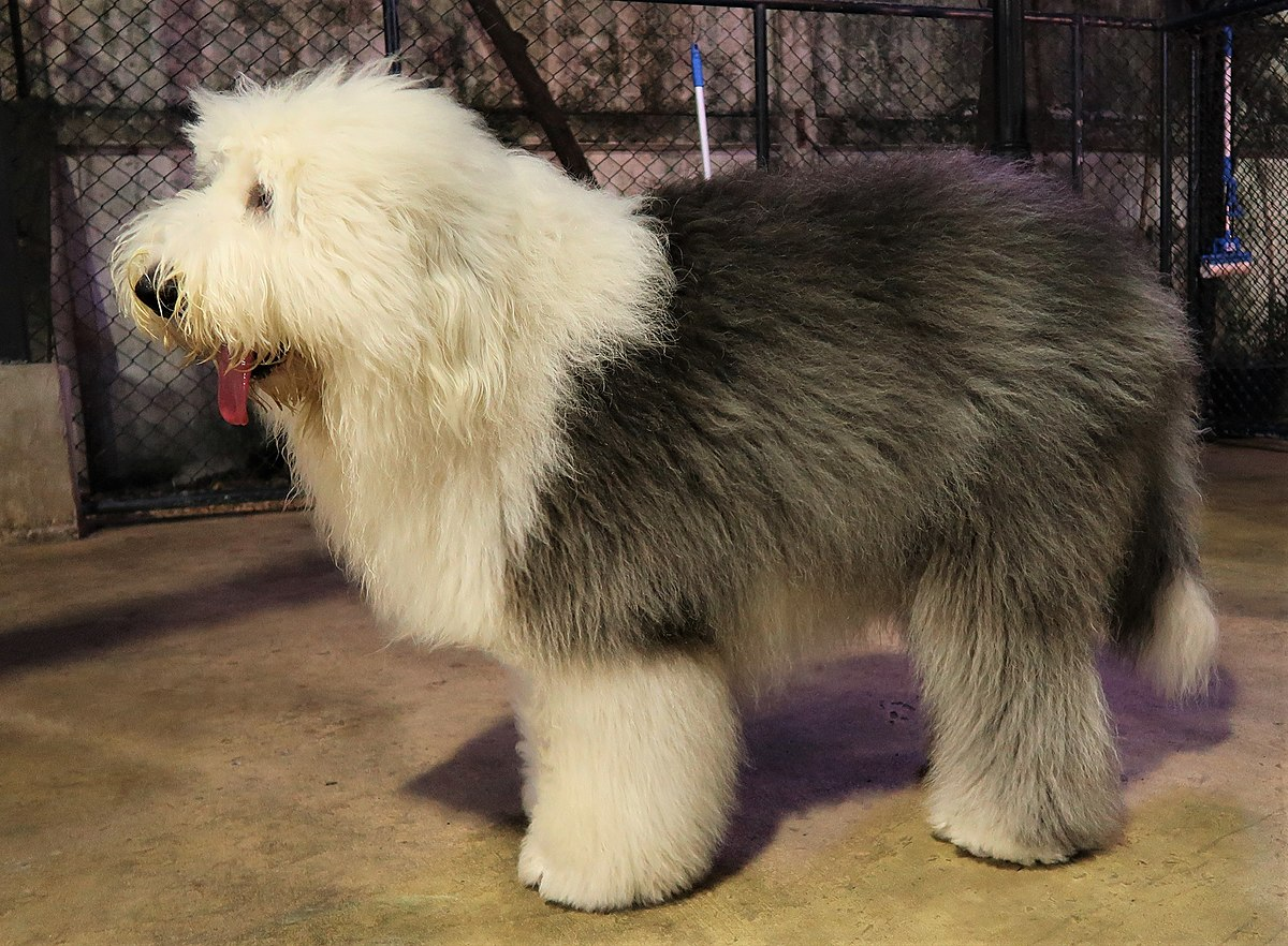 Are Old English Old English Sheepdog Wikipedia