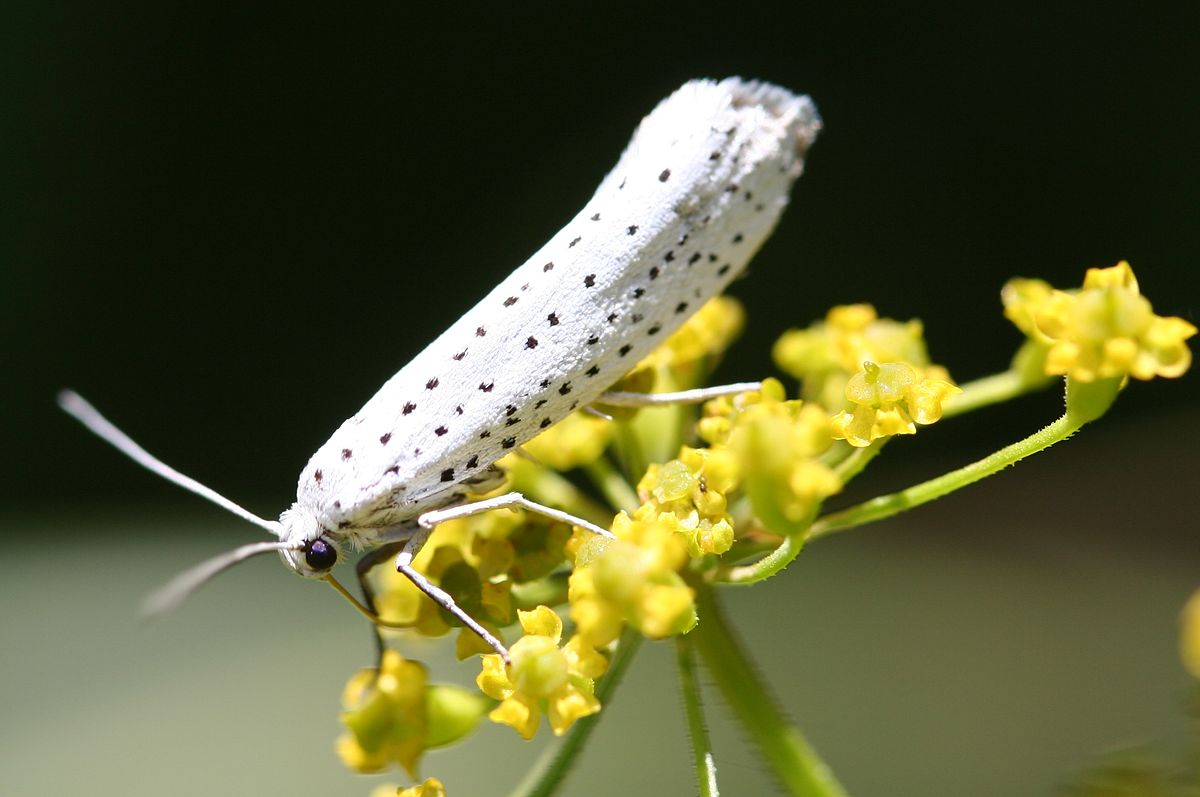 Yponomeuta Padella Lepiforum Bird Cherry Ermine Wikipedia