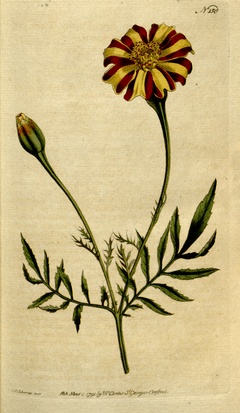 The Botanical Magazine, Plate 150 (Volume 5, 1792)
