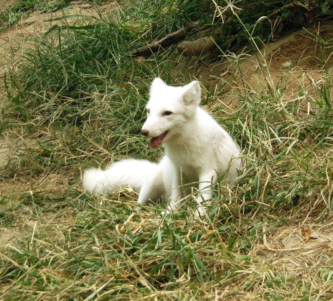 Pet Fox For Sale Australia File Beijingzoo White Fox Jpg Wikimedia Commons