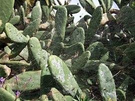 Cochineal on Opuntia cactus, La Palma