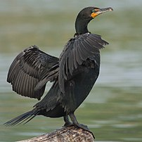 Double-crested Cormorant -- Humber Bay Park (T...