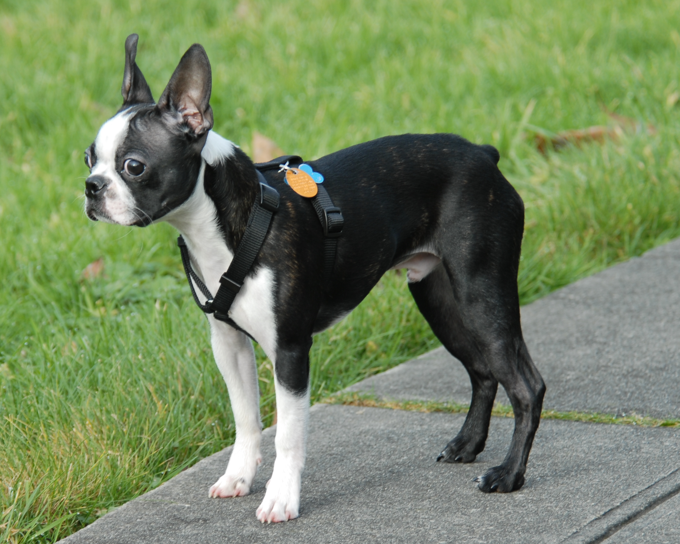 Image For Boston Terrier Skin Allergies