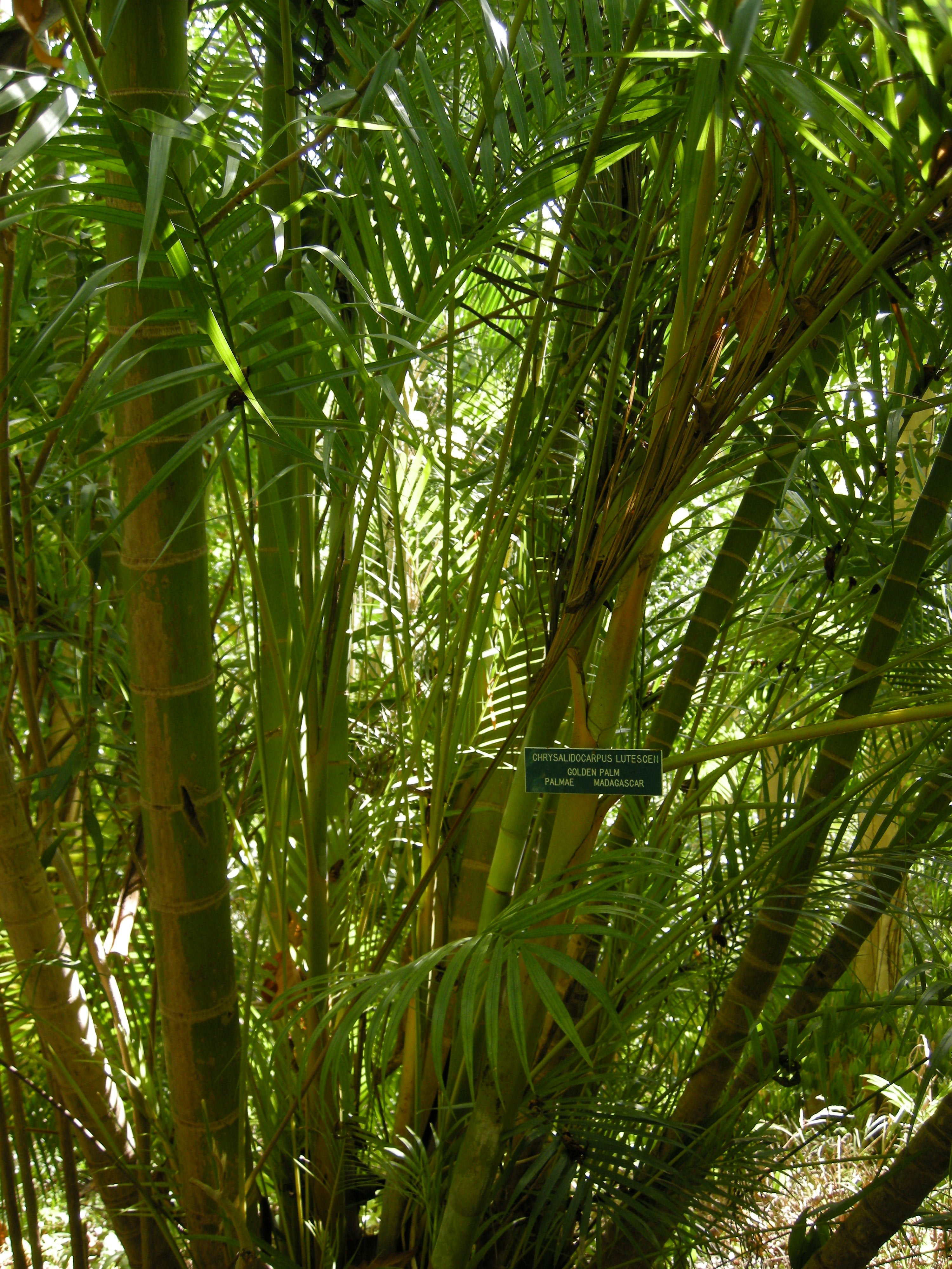 Dypsis Lutescens Wikipedia Dypsis