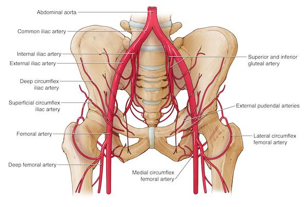 Pelvis Hip Anatomy