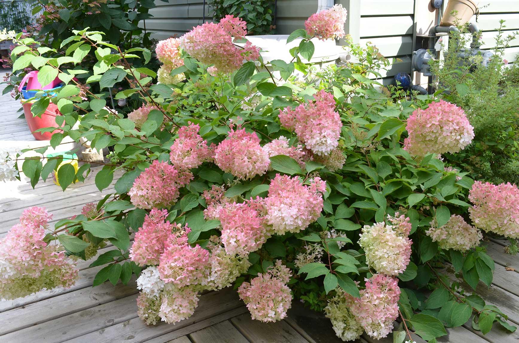 Fullsize Of Hydrangea Pinky Winky