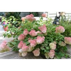 Small Crop Of Hydrangea Pinky Winky