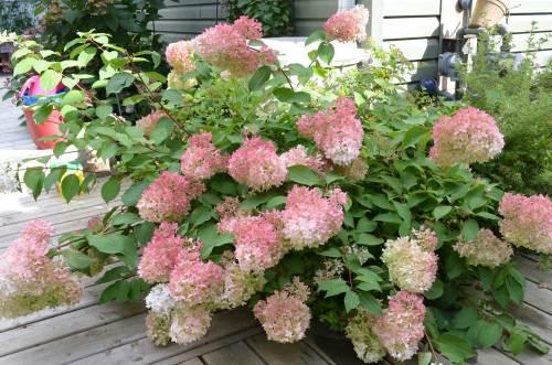 Medium Of Hydrangea Pinky Winky