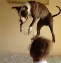 Dog Learns the Joy of Jumping on the Bed - Neatorama