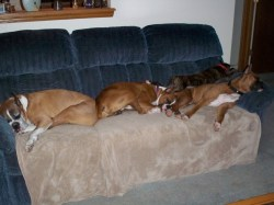 Small Of Do Boxers Shed