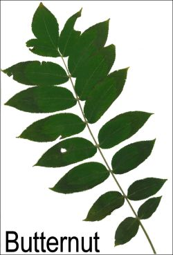 Small Of Pecan Tree Leaves