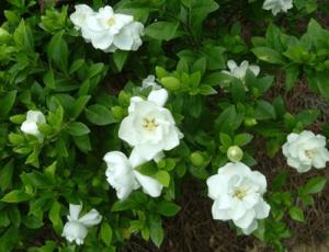 Gardenia-500x384-300x230