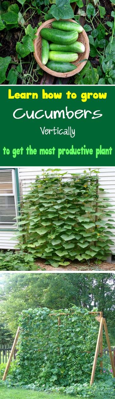 How to Grow Cucumbers 3