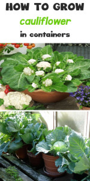 how to grow cauliflower in containers