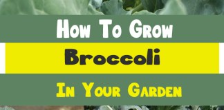 how to grow broccoli in a pot