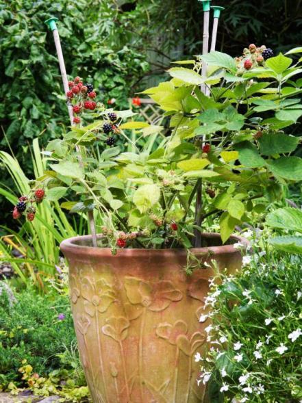 grow blackberries