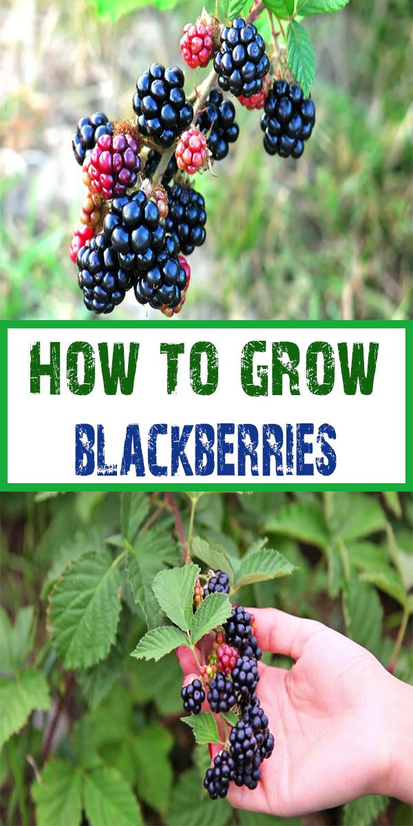 how-to-grow-blackberries-2