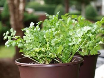 9-Herbs-That-Regrow3-350x264