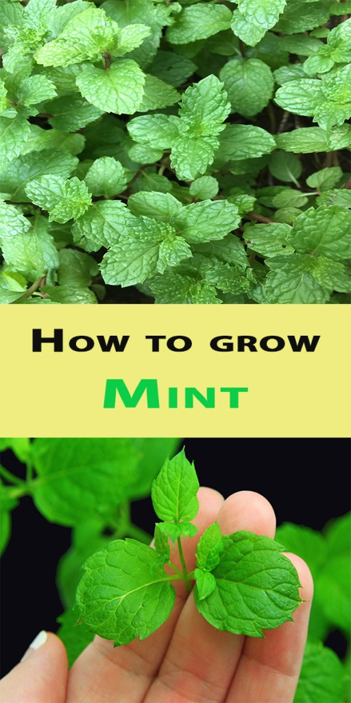 How to grow Mint 1