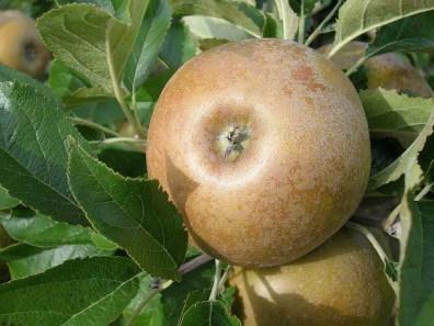 ergamont-apple