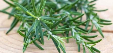 rosemary-plant