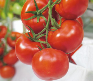 Greenhouse grown tomatoes